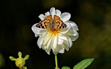 Free Shallow Focus Photography Of Vanessa Atalanta Butterfly On White Flower Stock Photo - 109920510