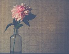 Free Clear Glass Flower Vase With Pink Dahlia Flower In Bloom Royalty Free Stock Image - 109920596