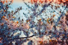 Free Close-up Photography Of Cherry Blossom Royalty Free Stock Photos - 109920618