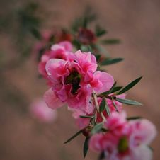 Free Selective Focus Photography Of Pink Petaled Flower Royalty Free Stock Image - 109920766