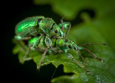 Free Close Up Photo Of Two Jewel Weevils On Green Leaf Stock Photos - 109920883