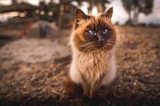 Free Himalayan Cat Royalty Free Stock Photography - 109920907