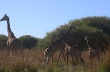 Free Photo Of Giraffes In The Field Stock Images - 109920914