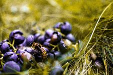 Free Yellow Wasp On Blueberry Stock Photography - 109920922