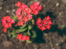 Free Close-up Photography Of Kalanchoe Flowers Stock Images - 109921014