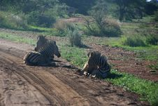 Free Photography Of Three Zebras Lying Down Stock Images - 109921044