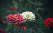 Free Close-Up Photography Of Zinnia Flowers Stock Images - 109921054