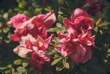 Free Close-up Photography Of Pink Roses Stock Image - 109921101