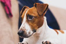 Free Still Life Photo Of White And Brown Dog Royalty Free Stock Photos - 109921178