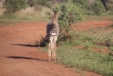 Free Photography Of Zebra On Road Royalty Free Stock Photography - 109921227