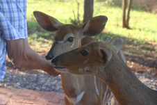 Free Photo Of Person Feeding Two Deers Royalty Free Stock Photo - 109921235