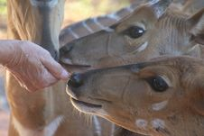 Free Close-Up Photo Of Person Feeding Brown Deer Stock Photos - 109921283