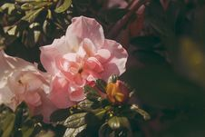 Free Pink Peony Flowers In Bloom At Daytime Royalty Free Stock Images - 109921309