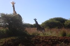 Free Photography Of Two Giraffes Near Green Tree Royalty Free Stock Image - 109921326