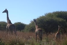Free Photo Of Giraffes On The Field Stock Images - 109921344