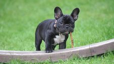 Free Black And White French Bulldog Puppy Stepping On Brown Wood Board Panel Close-up Photography Royalty Free Stock Image - 109921486