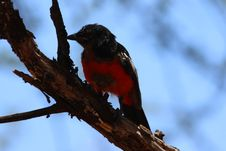 Free Small Black And Red Bird Stock Images - 109921564