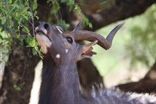 Free Closeup Photo Of Brown Antelope Eating Leaves Royalty Free Stock Photography - 109921577