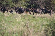 Free Photo Of Buffalos In The Field Royalty Free Stock Photos - 109921578