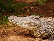 Free Close-up Photography Of Brown Crocodile Royalty Free Stock Images - 109921579