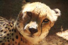 Free Cheetah Animal Stock Photos - 109921583