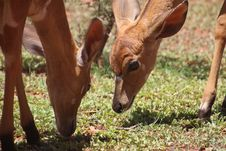 Free Two Brown Deers On Grass Field Royalty Free Stock Photography - 109921607