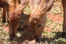 Free Two Brown Deers Eating Grass Royalty Free Stock Photos - 109921658
