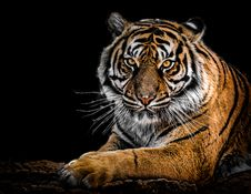 Free Close-Up Photography Of Tiger Stock Photos - 109921853