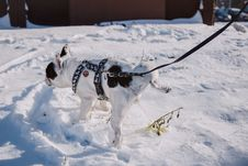 Free Adult Short-coated White And Black Dog With Black Harness On Top Of Snow Stock Photography - 109921862