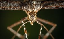 Free Macro Photography Of Brown Plume Moth Stock Photography - 109921882