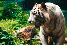 Free Close-Up Photography Of Tiger Royalty Free Stock Photos - 109921938
