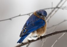 Free Photography Of Small Blue And Brown Bird Stock Photos - 109922013