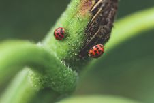 Free Micro Photography Of Two Red-and-black Ladybugs Royalty Free Stock Image - 109922016