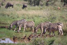 Free Five Zebra In Pond Near Brown-and-black Birds Soundring By Green Grass Royalty Free Stock Image - 109922066