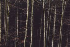Free Birch Trees On The Forest Royalty Free Stock Image - 109922076