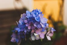 Free Selective Focus Photography Of Blue Hydrangea Flowers Stock Photo - 109922120