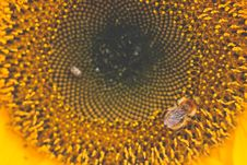 Free Honey Bee Perched On Sunflower Macro Photography Royalty Free Stock Photography - 109922177