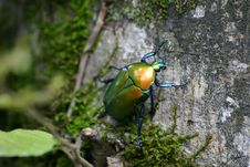 Free Green June Beetle On Tree Bark With Green Mosh In Closeup Photo Royalty Free Stock Photos - 109922288