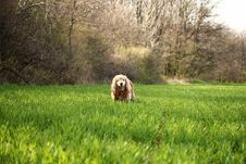Free Photo Of Cocker Spaniel Dog On Grass Field Royalty Free Stock Photography - 109922527
