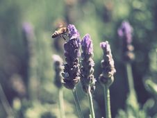 Free Yellow And Black Honey Bee On Purple Lavender Flower Stock Images - 109922674