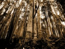 Free Sepia Photo Of Forest Royalty Free Stock Image - 109922696