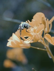 Free Black And Brown Honey Bee On White Flower Royalty Free Stock Images - 109922759