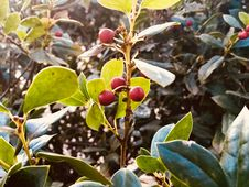 Free Selective Focus Photo Of Red Mistletoe Royalty Free Stock Photo - 109923135