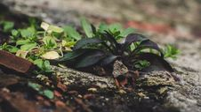Free Green Lead Plant Stock Photos - 109923163