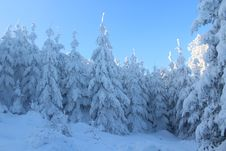 Free Pine Trees Covered With Snow Royalty Free Stock Photo - 109923215