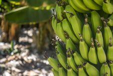 Free Banana Tree Royalty Free Stock Photos - 109923288