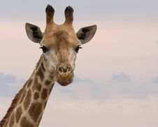 Free Close-Up Photography Of Giraffe Royalty Free Stock Images - 109923289