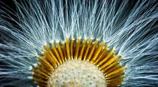 Free Close-up Photography Of Dandelion Flower Stock Photo - 109923480