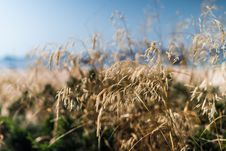 Free Close Up Photo Of Dried Grass Royalty Free Stock Image - 109923676