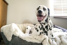 Free Dalmatian On Pet Bed Stock Photo - 109923830